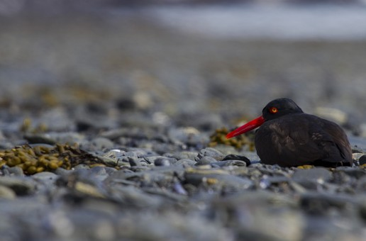 Bird Photography – Black Oystercatchers