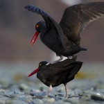 Black Oystercatcher Mating