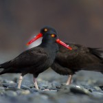 Two Black Oystercatcher